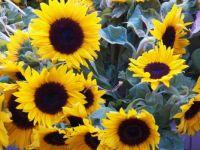 Sunflowers, 63 pieces