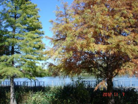 Bald Cypress Trees at the Lake