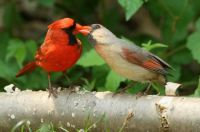 birds  male feeds female cardinal