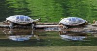 Turtles relaxing in the sun