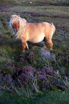 a shetty in the heather
