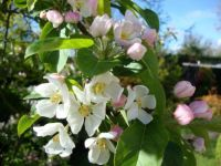 Apple Blossoms In The Sun.