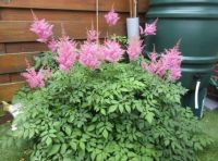 My pink Astilbe is 'pinking up' nicely!