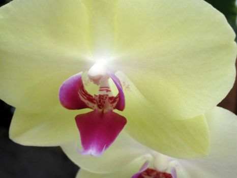 Green yellow orchid