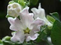 185_8327  Araujia sericifera, Moth Plant, Moth vine, Asclepiadaceae