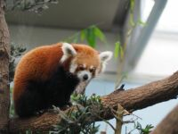 Red Panda, Singapore ZOO