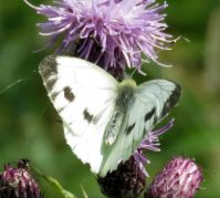 cabbage white on thistle (koolwitje)