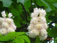 Jírovec maďal nebo také kaštan koňský (Aesculus hippocastanum)