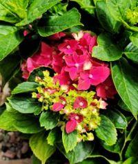 Shy Hydrangea Blossom