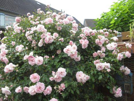 My Bonica Rose (08-08-2020)