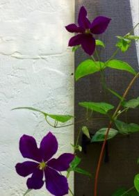 Purple Clematis blooms and buds