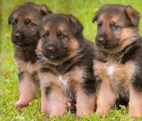 German-Shepherd-Puppies-