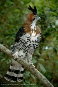 Ornate Hawk-Eagle (Spizaetus ornatus)