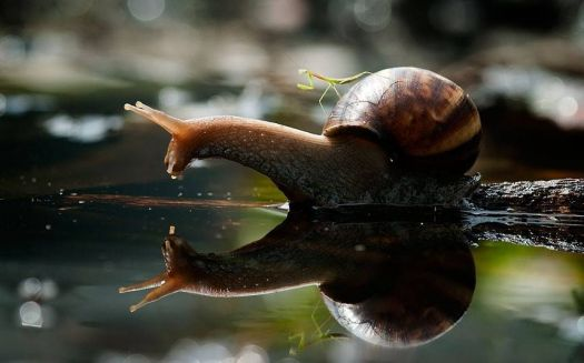 Praying Mantis riding a Snail - photog unknown