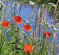 poppies along th water's edge (klaprozen)
