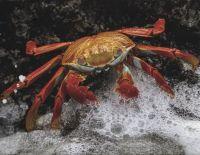 Sandy Lightfoot Crab, Galapagos Islands
