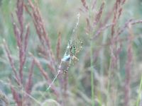 I caught Argiope bruennichi by my camera