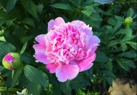 Pink Peony bloom and buds