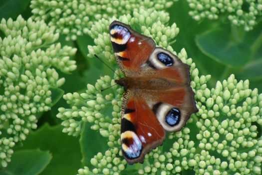 Butterfly on orpine
