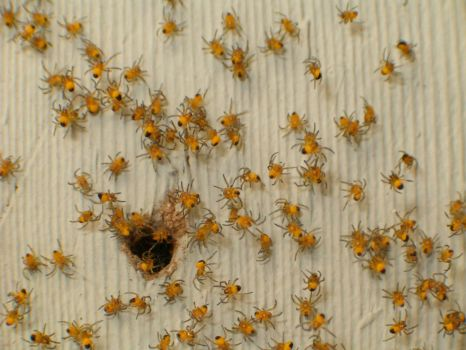 Baby Yellow Spiders
