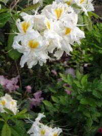 Fragrant azalea