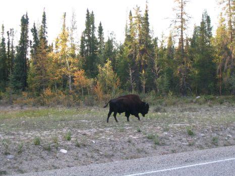 Wild buffalo NWT 098
