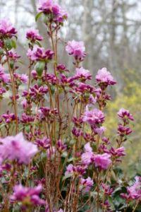 Rhodie in Bloom Apr. 1, 2021 (B)