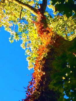 Virginia creeper autumn colors--more challenging