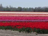 Tulpen op Goeree Overflakkee