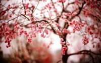 cherry-pink-flowers-branches-spring-bokeh