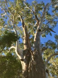 Mighty Gum Tree