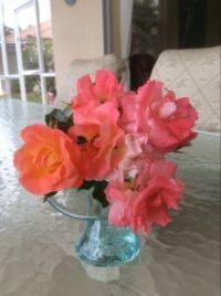 Drift Roses-Florida