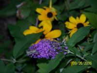 buddlia and rudbeckia