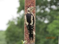 Juvenile Greater Spotted Woodpecker with one eye half open or closed