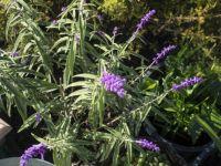 Lovely velvety purple salvia