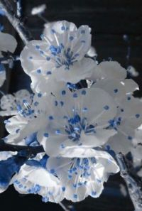 .white petals blue stamen