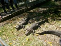 Arkansas Sunning Alligators
