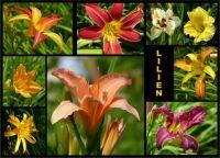 Lilien3