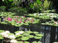 Lily_Garden_Longwood_Gardens