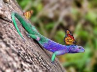 Lizard with Butterfly