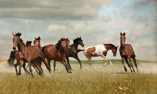 horses mustangs herd of