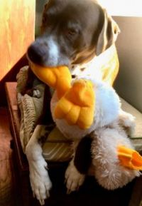 Mikie-Boy with toy duck June 2020 #3