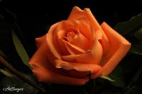 Happy Valentine's Day Rose _3018