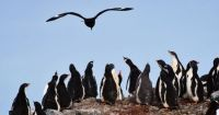 Antarctica - Gentoo penguins watching their predator, the Skua, take flight