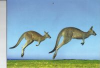 Grey Eastern Kangaroo
