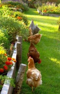 A Garden with Chickens