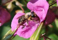 Willughby's leaf-cutter bee - Megachile willughbiella (grote bladsnijder)