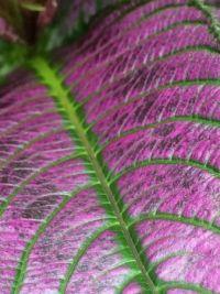 persian shield closeup