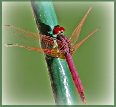 Red Dragon Fly  II