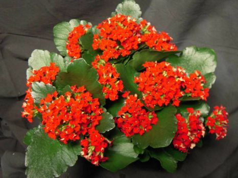 Kalanchoe-Red